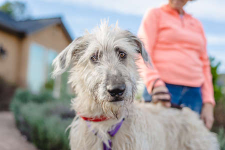 Irish wolfhound puppy standing outdoors, looking at the camera