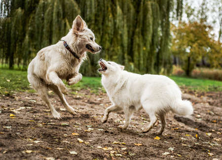 A cute, fluffy white Samoyed dog bares her teeth in playful aggression, while playing with a happy Golden Retriever dog in a dirt patch near a grassy field.