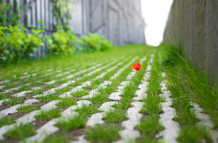 A wild poppy flower and grass growing in a concrete path