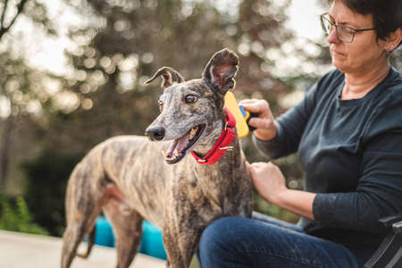 Middle aged dog owner grooming her pet greyhound with a brush