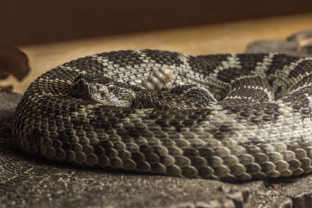 Closeup of coiling Western diamondback rattlesnake