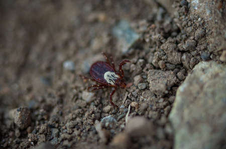 Selective focus of a wood tick, Dermacentor variabilis, crawling on the ground