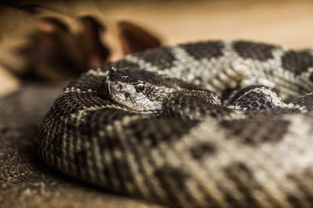 Close up of a Northern Pacific Rattlesnake