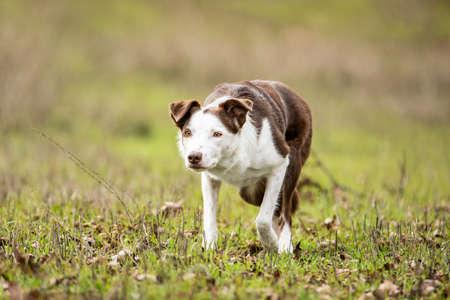 Purebred herding border collie sheepdog in stalking mode posture