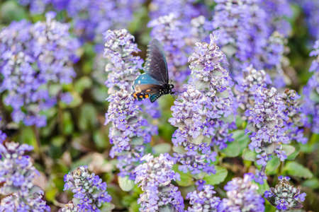 Colorful pipevine swallowtail butterfly alighting on bugle flowers