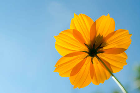 tickseed: A yellow cosmos flower on blue background