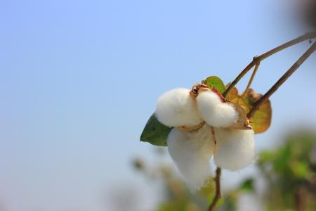 cotton flower fields india Stock Photo