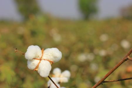 cash crop: cotton flower fields india Stock Photo