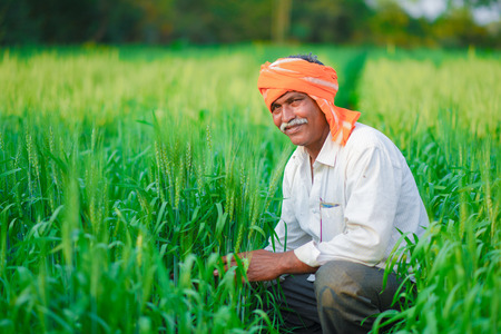 Indian farmer holding crop plant in his Wheat field