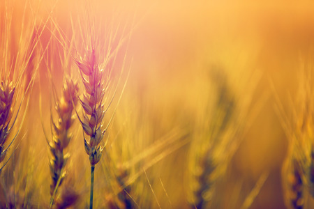 Wheat field. Ears of golden wheat close up Stock Photo - 124684440