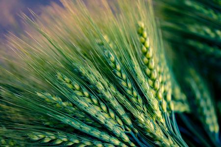 green Wheat spikes on dark wooden board