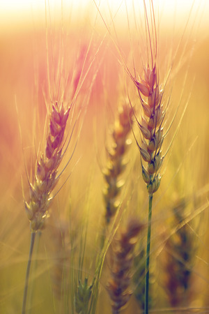 Wheat field. Ears of golden wheat close up Stock Photo - 124684174