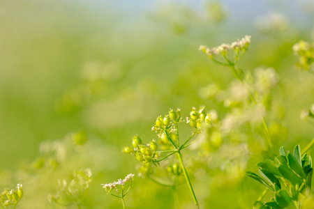 Black Mustard Seeds field