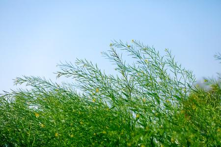 Black Mustard Seeds field