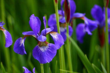 iris blossom: Blue irises Stock Photo