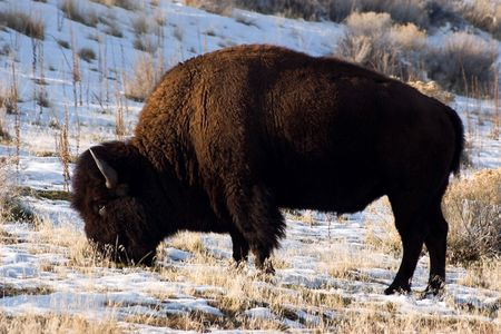 Buffalo Grazing in Winter Stock Photo - 4240925
