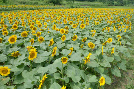 Bright yellow blooming sunflowers in the field
