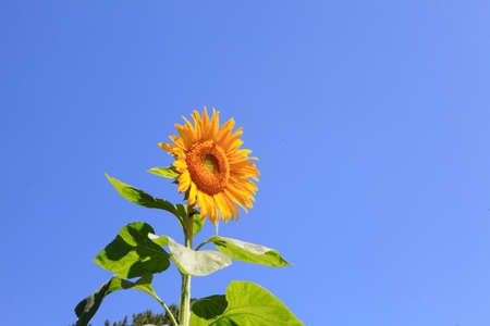 Bright yellow blooming sunflower on a bright sunny day