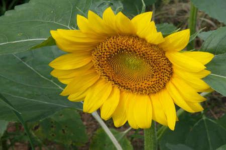 Sunflower 스톡 콘텐츠 - 108964244