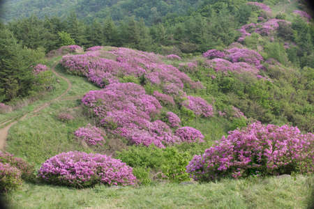a royal azalea blossom