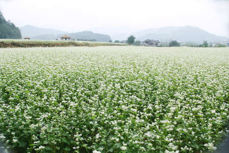a buckwheat field Stock Photo