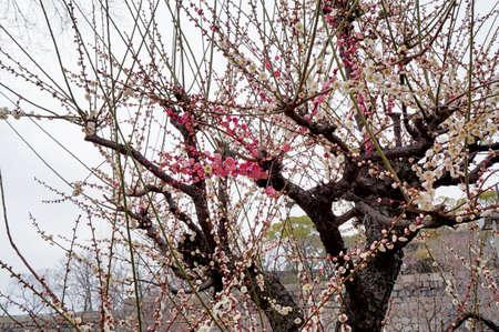 osaka castle: Osaka Castle ninomaru garden plum