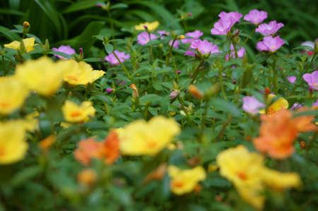keen: Keen Cerise flower Stock Photo