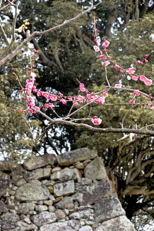 plum island: Ishigaki and plum of Castle