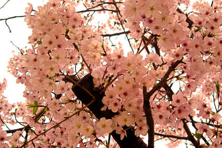 Spring flowers in japan are cherry blossoms stock photo picture and spring flowers in japan are cherry blossoms stock photo 87423883 mightylinksfo
