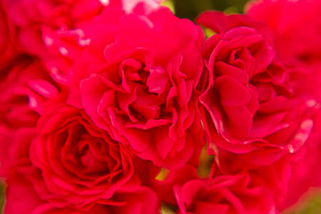 Bright red roses close up