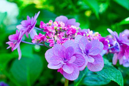 hydrangea flower.