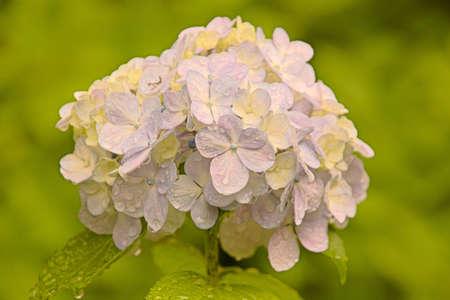 Hydrangea Blume Standard-Bild - 92786919