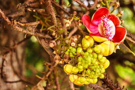 cannonball: Cannonball flower (Couroupita guianensis) Stock Photo
