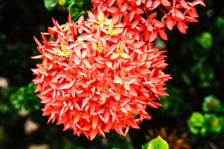 geranium color: Ixora flowers in the garden at the park Stock Photo