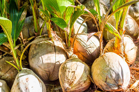Young coconut tree seed germination green leave pop out of the coconut. Coconut seedlings wait for planting ,nature background.