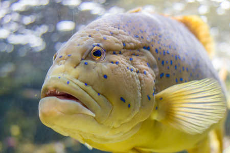 blue spotted grouper fish. Stock Photo