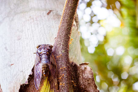 cigarra: Cicada Bug. Insecto cigarra. Cigarra palo en el árbol en el parque de Tailandia Tremendas habilidades musicales de la cigarra. insecto canta maravillosamente y prefiere un clima cálido Foto de archivo