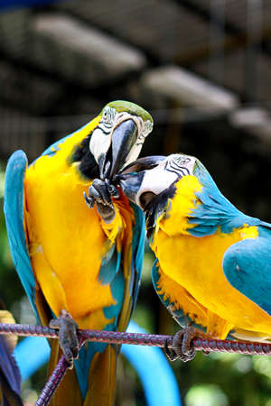 close up two parrot yellow and blue feather mating with love kiss