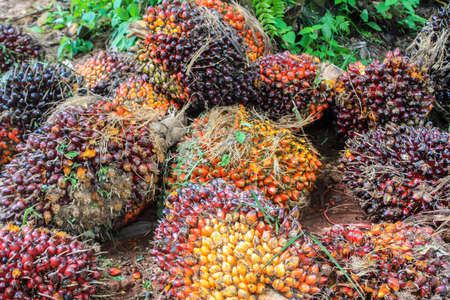 Plantation workers prepare to unload freshly harvested oil palm fruit bunches at a collection point.and Close up of fresh oil palm fruits, selective focus. Stock Photo