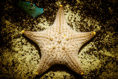 Plenty of cushion starfish on a sandy ocean floor