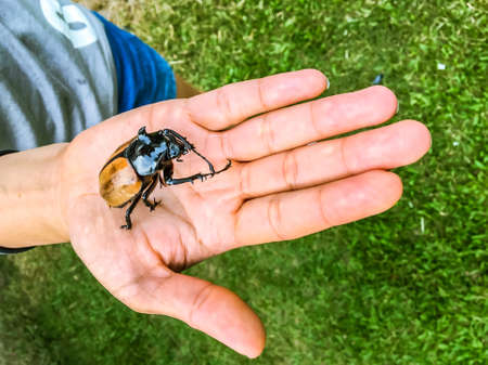 close up big Rhinoceros beetle or bug on human hand.Outdoor Nature Environmental Education program, science Wildlife Lesson, experiential learning