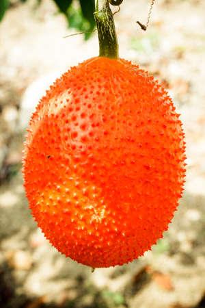 Gac fruit, Baby Jackfruit, Spiny Bitter Gourd, Sweet Grourd or Cochinchin Gourd in nature.