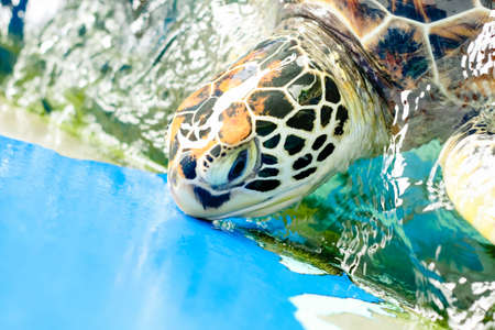 Close up crop of Hawksbill Sea Turtles face smiling for camera Stock Photo