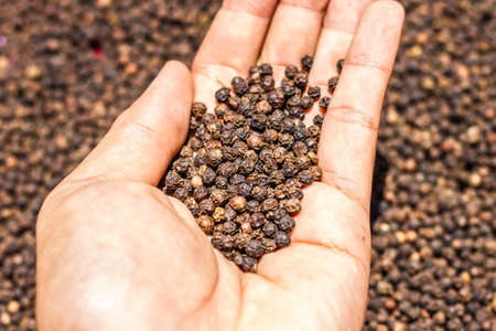 Black Peppercorns on hand. Peppercorn Varieties. Milled black pepper.and Black pepper grains as background close up,texture,spice medicinal properties. Stock Photo