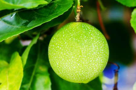 Passion fruit Stockfoto