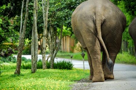 Rear View of Thai Elephant