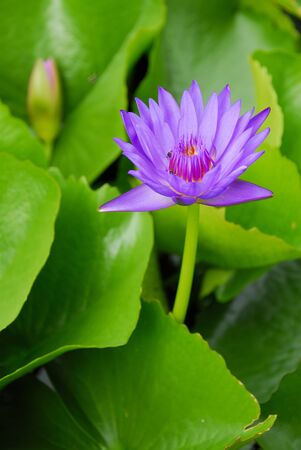 Purple water lily flowers blooming on pond