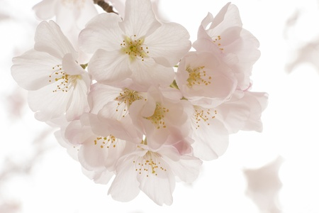 cherry blossom flowers on a spring day Stock Photo