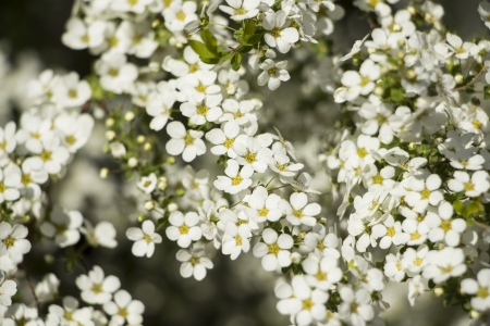 White Flowers in Spring Time
