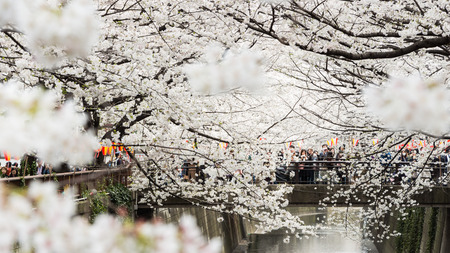 Tokyo, Japan - March 24, 2013  Japanese people is coming to see Sakura blossom along Meguro River in Nakameguro,Tokyo, Japan